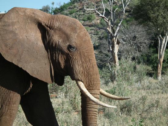 Ekea Safaris: bull