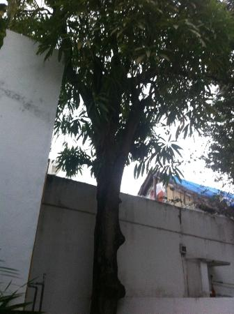 Haina Hostal: The mango tree in the garden