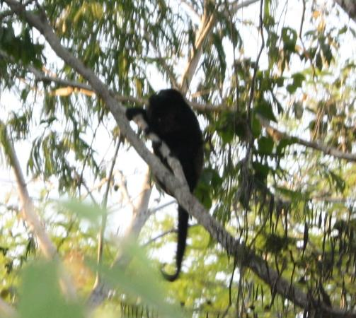 Agua Vista: Howler monkeys in the trees beside Casa Trogon