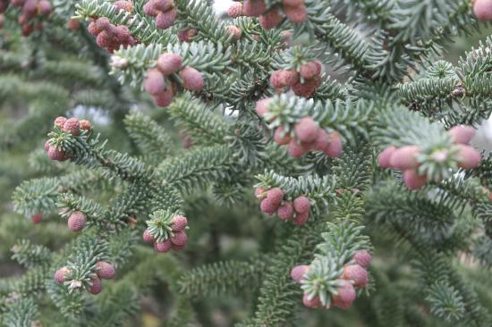 Los Reales de Sierra Bermeja: The Pinsapo Pine in spring