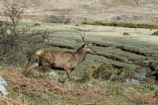 Brockville Bed and Breakfast : Red deer stag