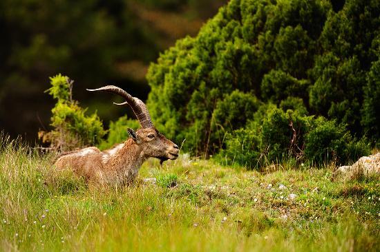 La Sénia, España: Cabra salvaje - Parque Natural dels Ports