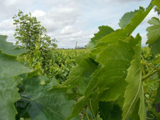 Quady Winery : Grapevines