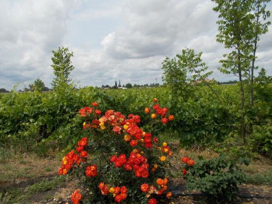 Quady Winery : Vineyard