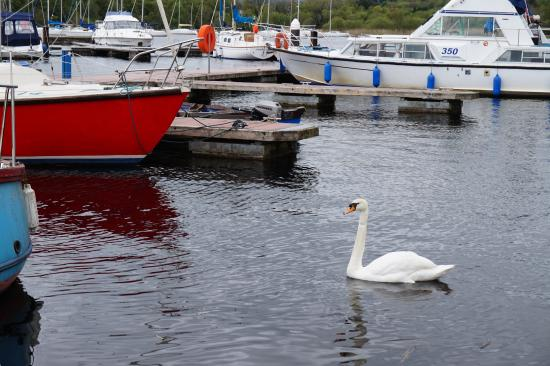 Hawthorn Lodge B & B: Swan and boats - Lough Derg