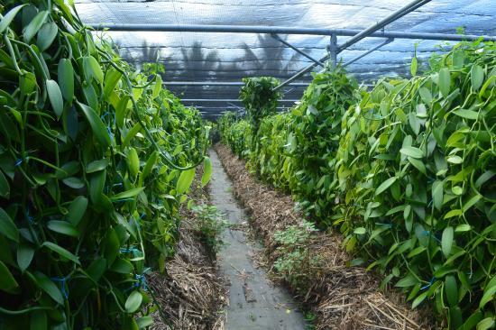 Saint-Andre, Reunion Island: Visite de la plantation de vanille