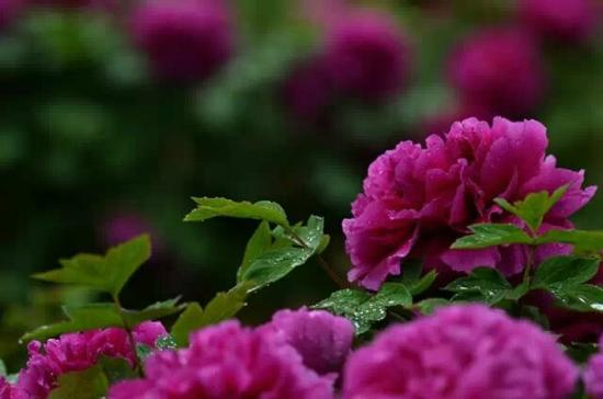 Luoyang International Peony Garden : national flower of China
