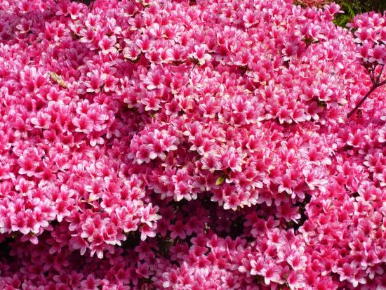 Lydney, UK: azaleas