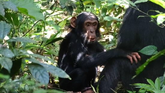 Kibale National Park: chimps