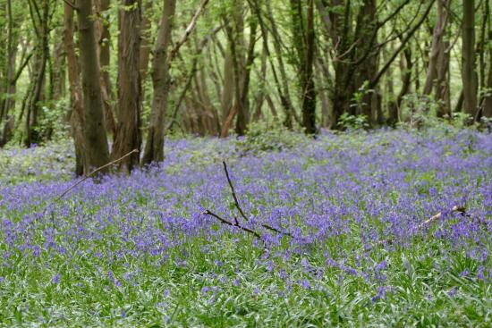 Saint Albans, UK: Langley Wood in Heartwood Forest, Sandridge near St Albans