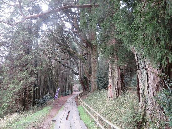 Heitate Shrine: 参道で出迎えてくれる生命感あふれる杉の樹