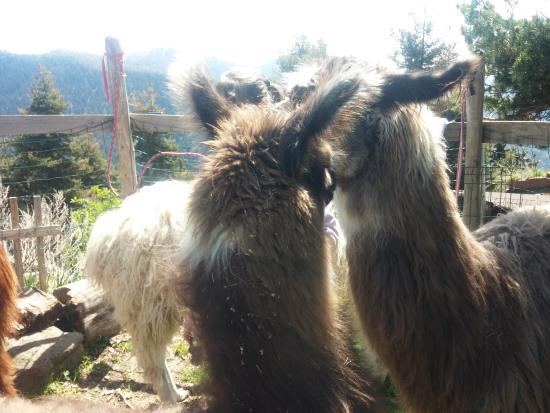 Ferme des Lamas du Mercantour