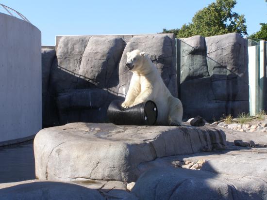 Frederiksberg, Danmark: Isbjørn tramper på tønden Kbh. Zoo.