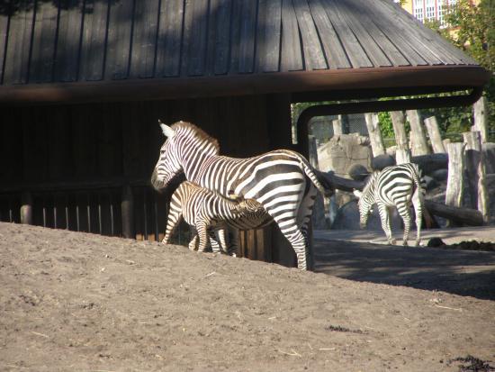 Frederiksberg, Danmark: Zebra med føl der dier.