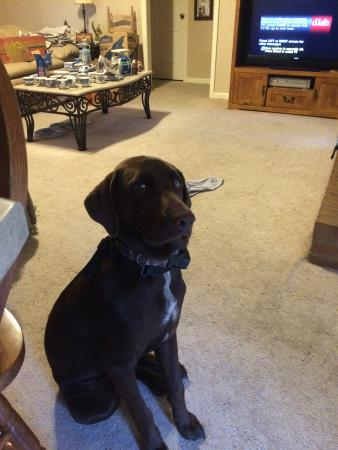 Super 8 Biloxi: This is Duke, my chocolate lab, that was at home with my boyfriend.