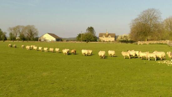 Fieldways: 羊の群れ