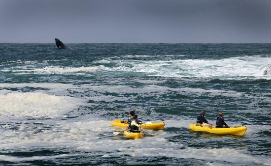 Walker Bay Adventures : Whale in Background