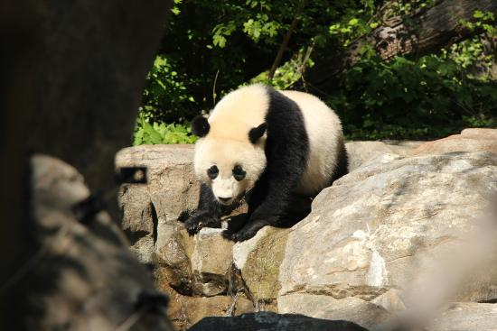 National Zoological Park : Panda