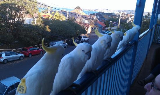 Cremorne Point Manor : Friendly visitors on the upastair veranda
