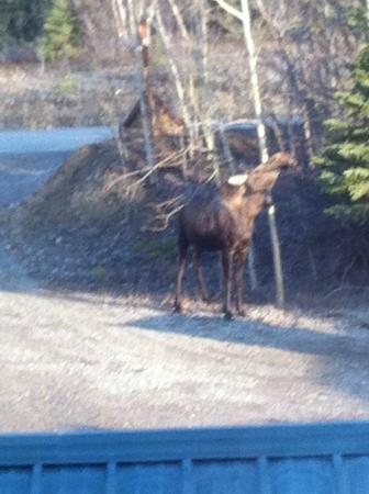 Denali Touch Of Wilderness Bed and Breakfast Inn: Moose enjoying breakfast