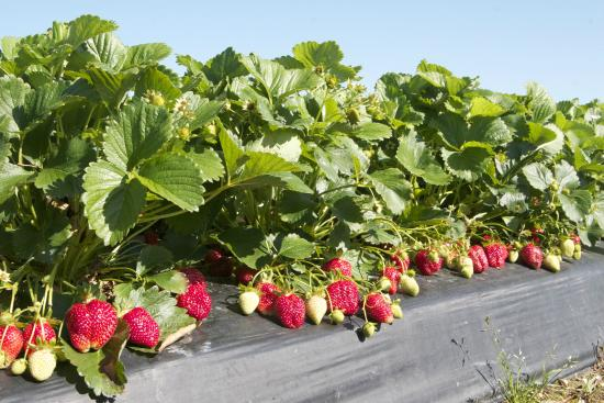 Washington Farms: Strawberries