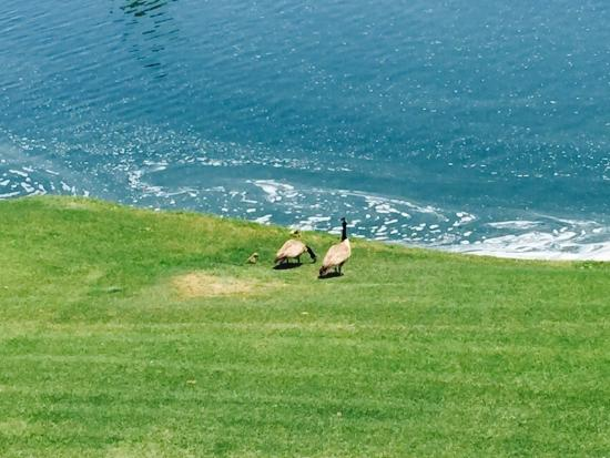 Marriott's Desert Springs Villas II: Geese and their babies at the golf course lake