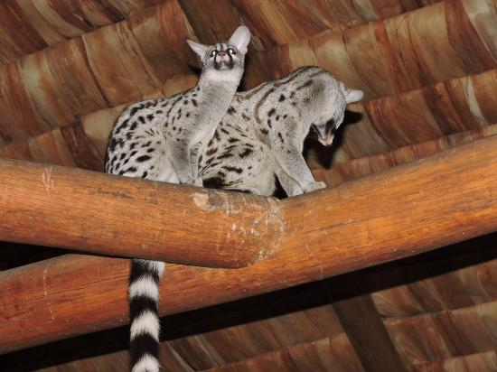Ndutu Safari Lodge : Two genets visit the lobby/dining area