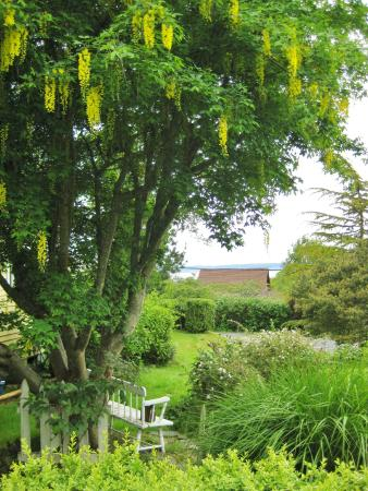 Country Cottage of Langley: Lovely Laburnum in the garden