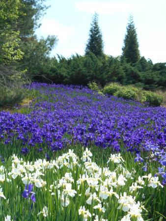 Hampton Inn Franklin: Iris Fields, Franklin, NC