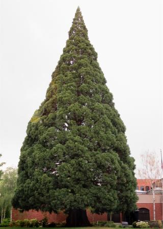 Gustav's German Pub & Grill: A huge Sequoia you see as you leave the restaurant
