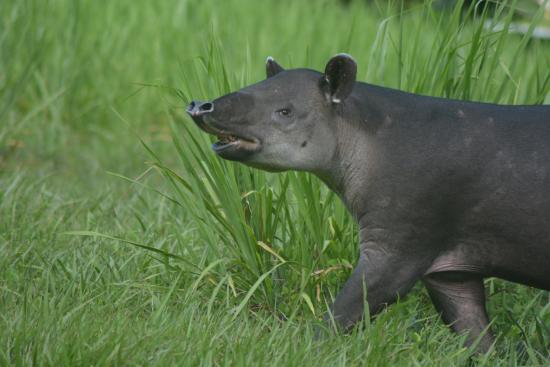 Puerto Jimenez, Costa Rica: Tapir aka danta