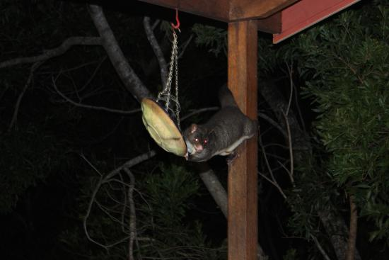 Belles at Montville: hungry possum raiding the seed tray