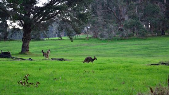 Waterfall Cottages: Kangaroos wandering wildly nearby