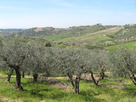 Montespertoli, Italia: Olive trees at the farm