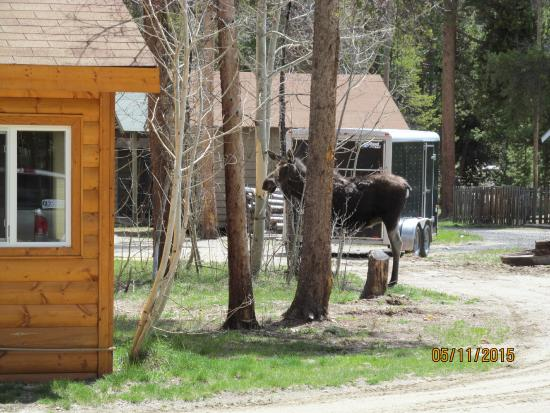 Daven Haven Lodge & Cabins: young moose across the space from our cabin