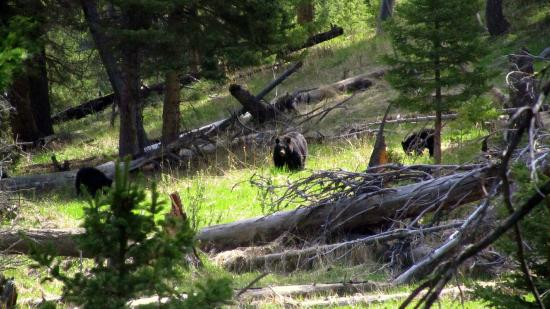 Tower Fall: Mother black bear with her cubs