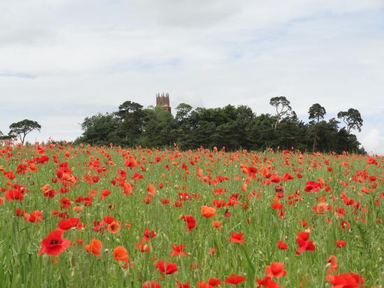 Faringdon Folly Tower and Woodland: Poppy heaven
