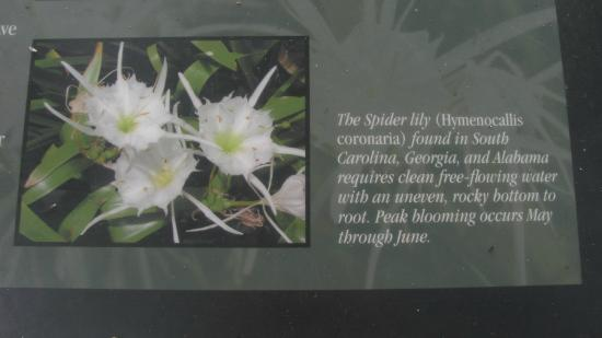 Catawba, SC: Information on the rare Tiger Lily