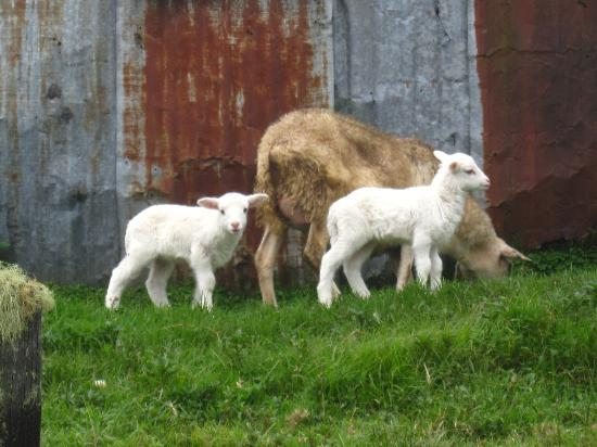 Sendero Los Quetzales (The Quetzales Trail) : some lambs by the entrance to the trail
