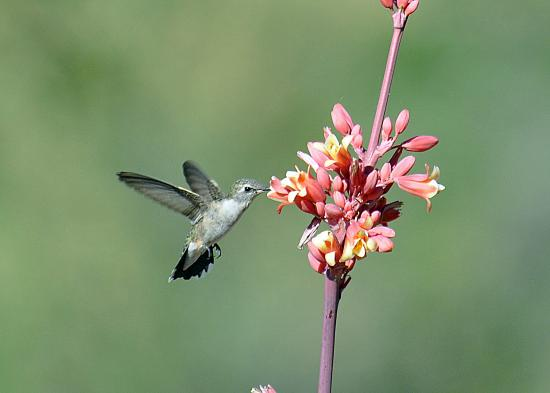 Casa de San Pedro: Black-chinned Hummingbird