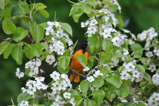Melfort Cottage Bed and Breakfast: Beautiful Baltimore Orioel in Garden