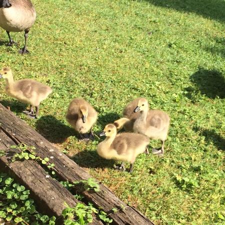 Rodeway Inn: Baby geese