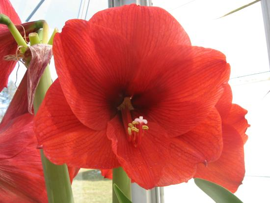Hidden Lake Garden: Amaryllis