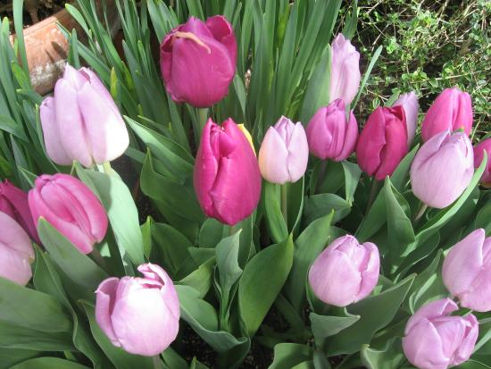 Hidden Lake Garden: Tulips