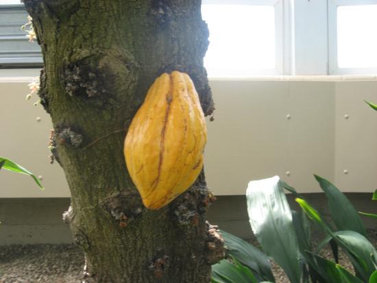 Tipton, ميتشجان: Cocoa pod
