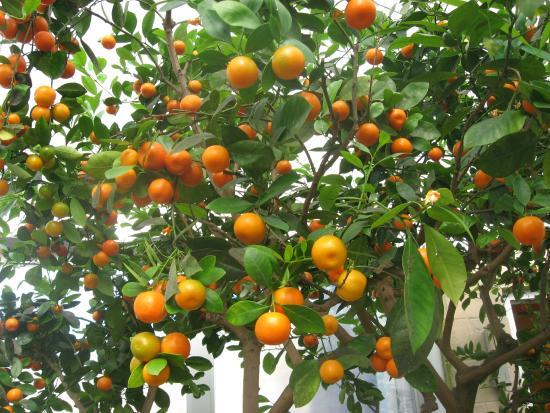 Tipton, MI: Kumquat