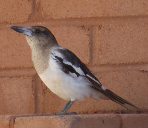 RAC Exmouth Cape Holiday Park: A Pied Butcherbird singing his heart out.