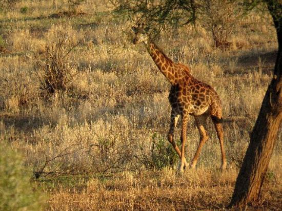 Tarangire Sopa Lodge : A lone giraffe.