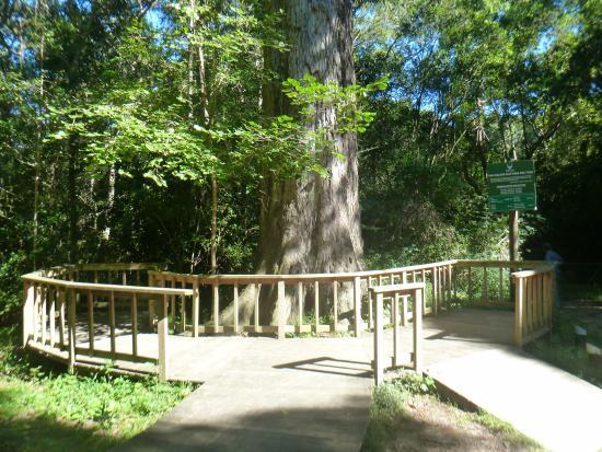 Dalene Matthee Memorial: The huge Yellowwood Tree