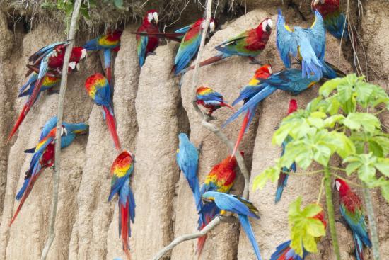 Chuncho Macaw Clay Lick